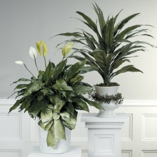 Plants- Spathphylum or Dracena